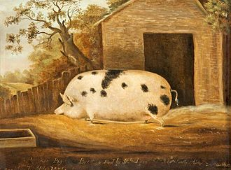 The Museum of Gloucester - An 1834 painting of a Gloucestershire Old Spot pig in the museum's art collection. Said to be the largest pig ever bred in Britain.