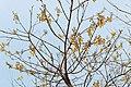 Gmelina arborea.jpg