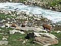 Goats grazing in Neelam valley.jpg