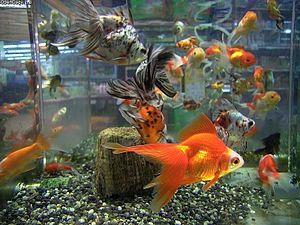 poissons d 39 aquarium vikidia l encyclop die des 8 13 ans. Black Bedroom Furniture Sets. Home Design Ideas