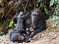Gombe Stream NP Mutter und Kinder.jpg