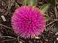 Gomphrena 'Pink Zazzle™,' Phipps Conservatory Outdoor Garden, 2015-10-01, 02.jpg