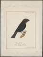Goniophea violacea - 1700-1880 - Print - Iconographia Zoologica - Special Collections University of Amsterdam - UBA01 IZ16000151.tif