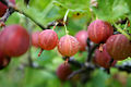 Gooseberry closeup.jpg