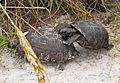 Gopherus polyphemus at New Smyrna Beach - Andrea Westmoreland.jpg
