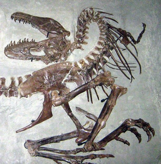 Gorgosaurus death pose