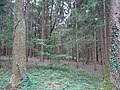 Grabhügelgruppe Hartwald Wald 7.jpg