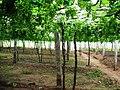 Grapes Plantation @ Cumbum, Theni - panoramio (6).jpg
