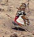 Graphium angolanus00.jpg