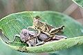 Grasshoppers mating.jpg