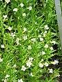 Gratiola officinalis01.jpg