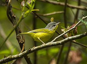 Gray-hooded Warbler - Bhutan S4E9002 (19079874190) (cropped).jpg
