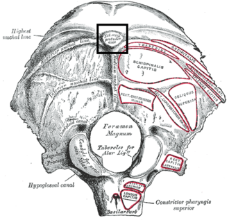 External occipital protuberance - Occipital bone seen from below. Outer surface. (External occipital protuberance visible at top center.)