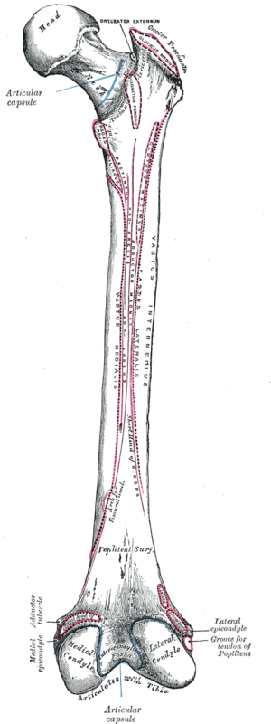 Linea aspera - Right femur. Posterior surface. (Linea aspera not labeled, but region is visible. Medial lip is at left; lateral lip is at right.)