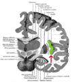 Gray717-emphasizing-insula.png