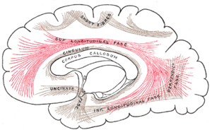 Superior longitudinal fasciculus - Diagram showing principal systems of association fibers in the cerebrum. (Sup. longitudinal fasc. labeled at center top.)