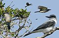 Gray Kingbird From The Crossley ID Guide Eastern Birds.jpg