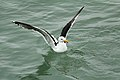 Great Black-backed Gull (7489550114).jpg