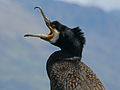 Great Cormorant RWD2.jpg