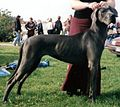 Great Dane blue.jpg