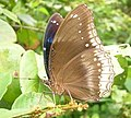 Great Eggfly.jpg