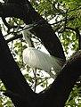 Great Egret Ardea alba by Dr. Raju Kasambe DSCN5044 (4).jpg