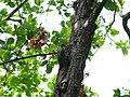 Great Slaty Woodpecker - Mulleripicus pulverulentus - P1100519.jpg