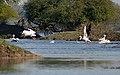 Great White Pelicans I-Bharatpur IMG 8555.jpg