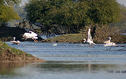 Great White Pelicans I-Bharatpur IMG 8555.jpg