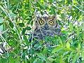 Great horned owl on Seedskadee National Wildlife Refuge (38827887600).jpg