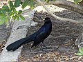 Great tailed grackle hiding behind tree branch 2.jpg
