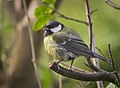 Great tit (37591576475).jpg