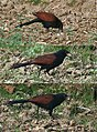 Greater Coucal I 65.jpg