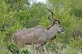 Greater Kudu (Tragelaphus strepsiceros) (17420779325).jpg