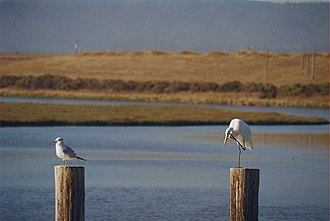 Shoreline Park, Mountain View - Image: Greater egret and gull on pilings