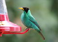 Green-honeycreeper2.png