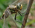 Green Marsh Hawk (Orthetrum sabina) W2 IMG 3451.jpg