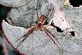 Green Tent Spider (Cyrtophora sp) (15424190291).jpg