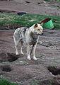 Greenland Husky (3970162839).jpg