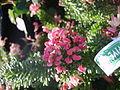 Grevillea lanigera mount tamboritha 2.jpg