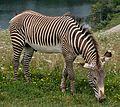 Grevy's Zebra grazing.jpg