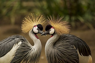 Grey crowned crane - Two males face to face