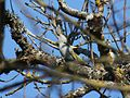 Grey-headed Woodpecker01.jpg
