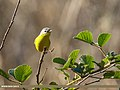 Grey-hooded Warbler (Phylloscopus xanthoschistos) (46323855774).jpg