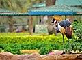 Grey crowned crane. ഗ്രേ ക്രൌൺഡ് ക്രേൻ.jpg
