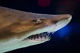 Grey nurse shark 2.jpg