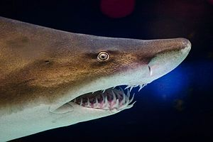 Grey nurse shark (Carcharias taurus) at the Mi...