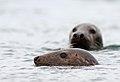 Grey seal - Grijze zeehond - Halichoerus grypus.jpg