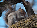 Grey squirrel 400px.jpg