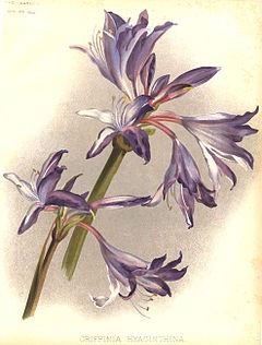 Griffinia hyacinthina1HGMoon.jpg